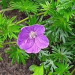 Geranium sanguineum 'Vision Violet' - Ooievaarsbek - Geranium sanguineum 'Vision Violet'
