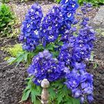 Delphinium 'GUARDIAN Blue' - Delphinium 'GUARDIAN Blue' - Ridderspoor