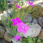 Dianthus deltoides 'Leuchtfunk' - Steenanjer/Zwolse anjer - Dianthus deltoides 'Leuchtfunk'