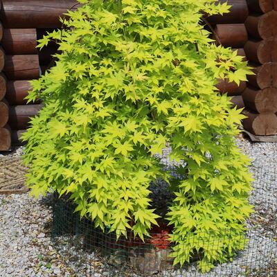 Acer palmatum 'Cascade Gold' -