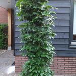 Carpinus betulus 'Fastigiata' - Carpinus betulus 'Fastigiata' - Haagbeuk