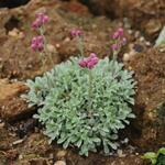 Antennaria dioica 'Alex Duguid' - Antennaria dioica 'Alex Duguid' - Rozenkransje