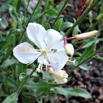 Gaura lindheimeri 'Butterfly White' - Gaura lindheimeri 'Butterfly White' - Prachtkaars