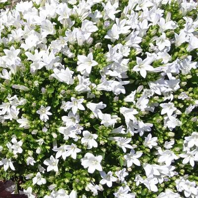 Campanula 'Ambella White' -