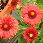 Gaillardia x grandiflora 'MESA Red' - Kokardebloem - Gaillardia x grandiflora 'MESA Red'