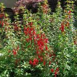 Fuchsia 'David' - Bellenplant - Fuchsia 'David'