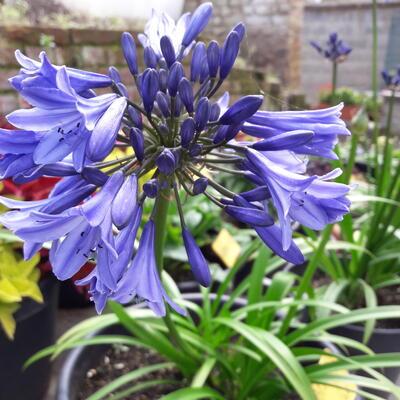 Agapanthus 'Blue Magic' -