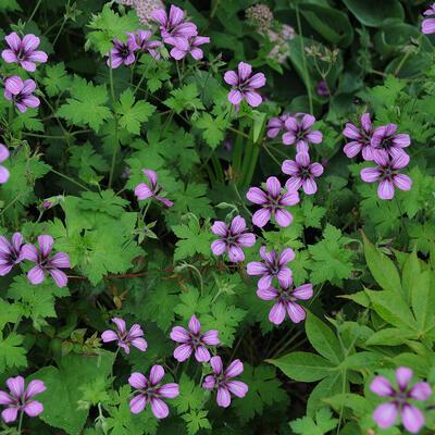 Geranium 'Sue Crug' -