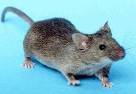 Muizen Bestrijden Forum : Heb een serieus probleem muizen plaag