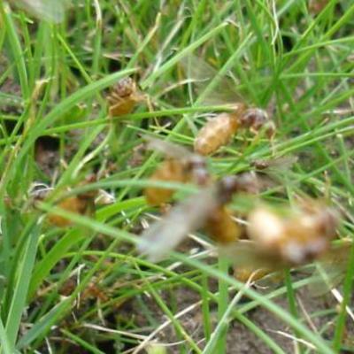 Vliegende mieren in het gazon