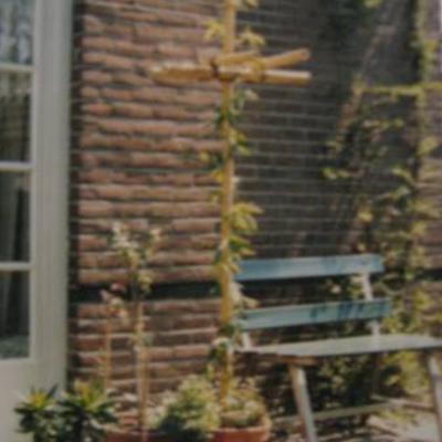 Passiflora caerulea in serre