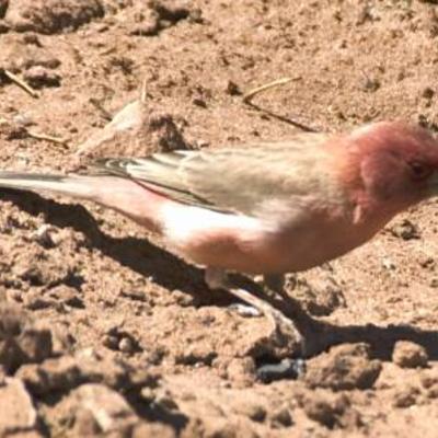 Vogel uit Jordani