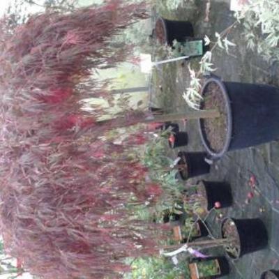 Acer palmatum garnet hydrangea