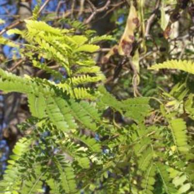 Plantensoort uit Rhodos