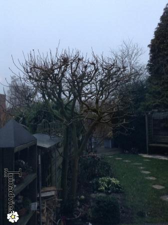snoeien magnolia