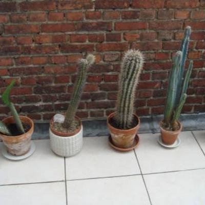 Verschillende soorten cactussen te koop