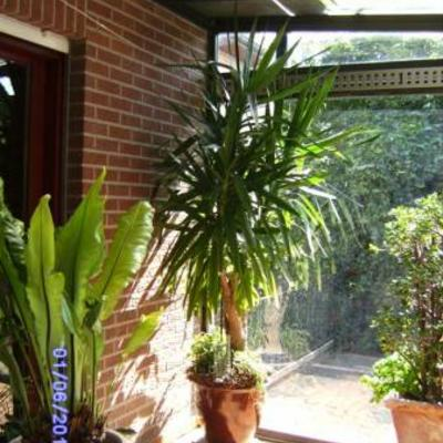 Te koop  Kamerplant Yucca met groene lancetvormige bladeren