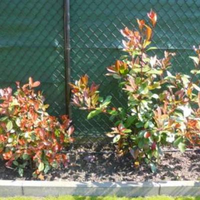 Photinia fraseri Red Robin - Glansmispel