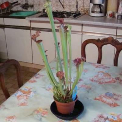 Vleesetende plant verzorging en naam