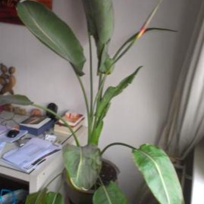 Stephanotis bloemen vallen af