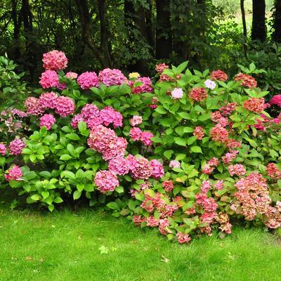 Opentuindagen AJISAI - hortensia tuin & kwekerij