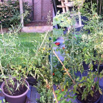 Enorme hoeveelheid bloemen op tomatenplant