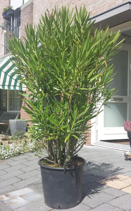 overwinter plantenbak voor oleander buiten. Black Bedroom Furniture Sets. Home Design Ideas