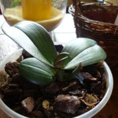 Orchidee maak bladeren waar bloemen moeten komen
