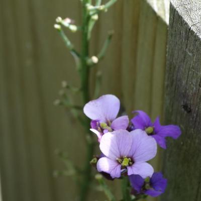 Wie kan mij de naam van dit bloemetje vertellen??