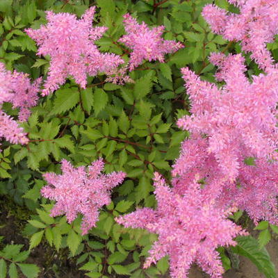 Astilbe of Buddleja?