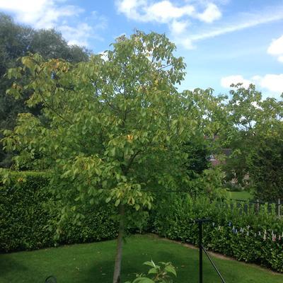 Mijn notenboom krijgt gele bladeren, wat kan ik doen?