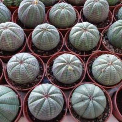 Euphorbia obesa te koop