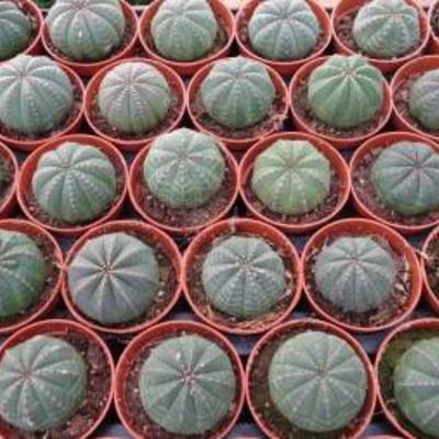 Euphorbia Obesas te koop.