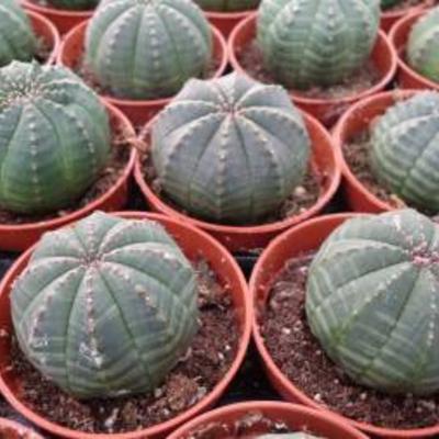Euphorbia Obesa zaailingen te koop.
