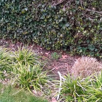 Hoe moeten deze grassen gesnoeid worden?