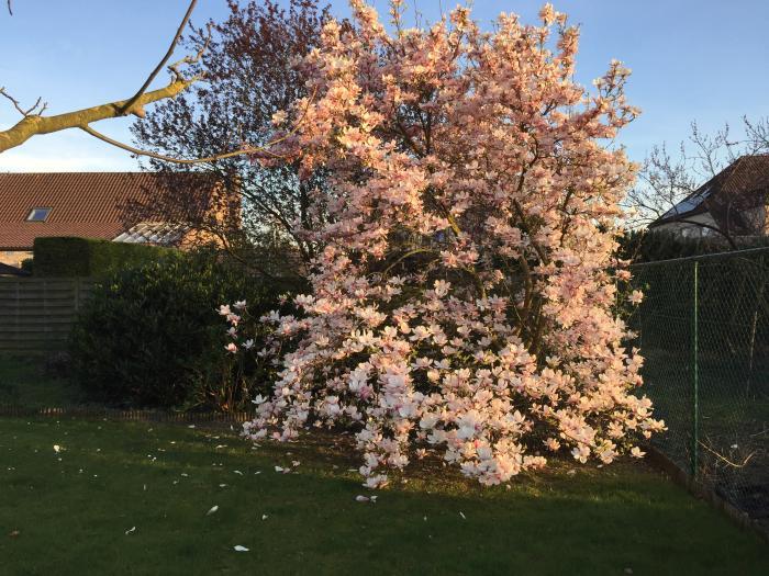 vorstschade/snoeien magnolia