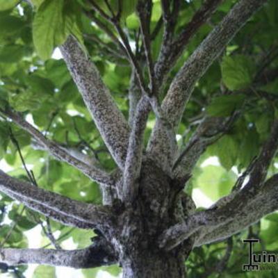 Catalpa bladeren verdorren