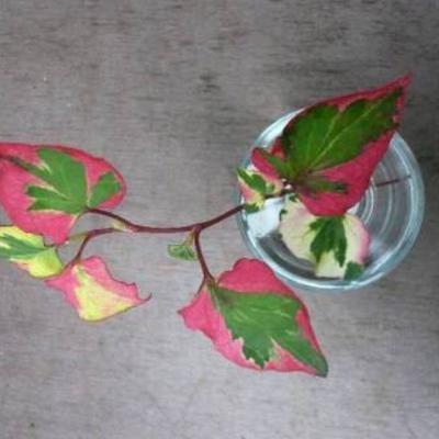 Wie weet de naam van deze plant
