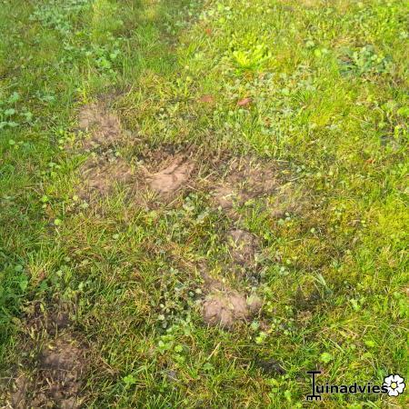 mieren in het gazon