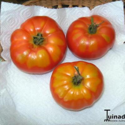 Gele vlekken op tomaten
