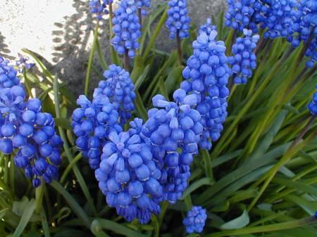 blauwe druifjes giftig voor katten