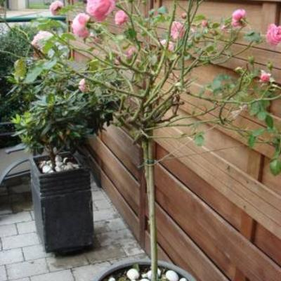 Bladerloos rozenboompje