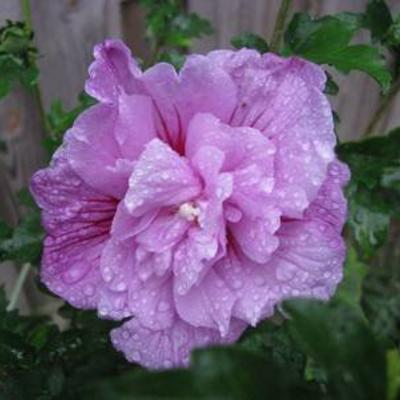 Naam van deze mooie hibiscus
