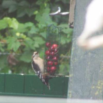 Ferme vogel met zware bek.