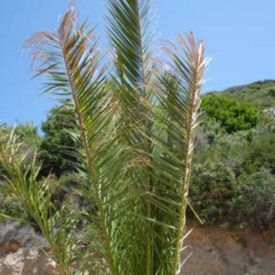 Palmbomen worden bruin