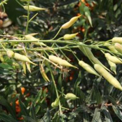 Naam drachtplant gezocht