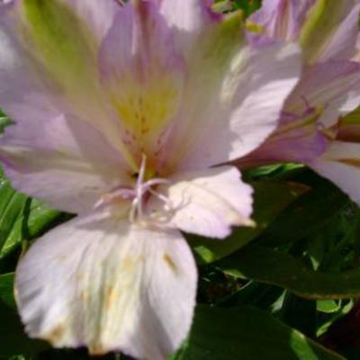 Alstroemeria als levende planten in de tuin