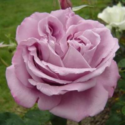 Een zogenaamde blauwe roos maar geen naam.