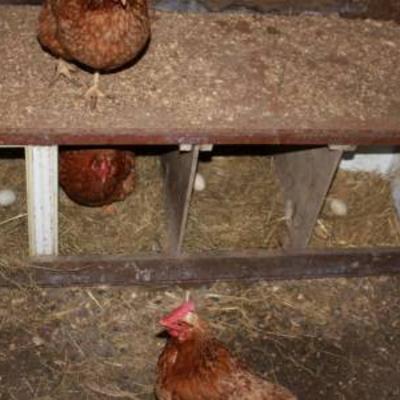 Kippen leggen geen eieren