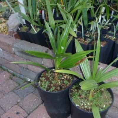Ik heb 3 pakketen met jonge palmen soorten